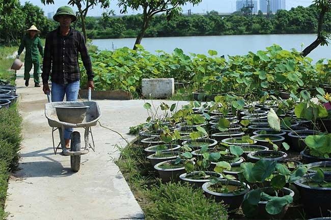 Trung tâm trồng và nghiên cứu sen tại Gia Lâm