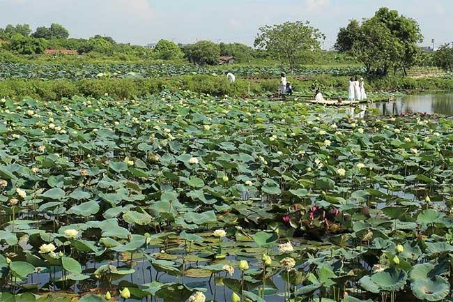 Ngay tại Hà Nội, có một nơi đang bảo tồn gần 40 giống sen quý...
