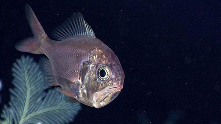 Cá nhám Tây Thái Bình Dương