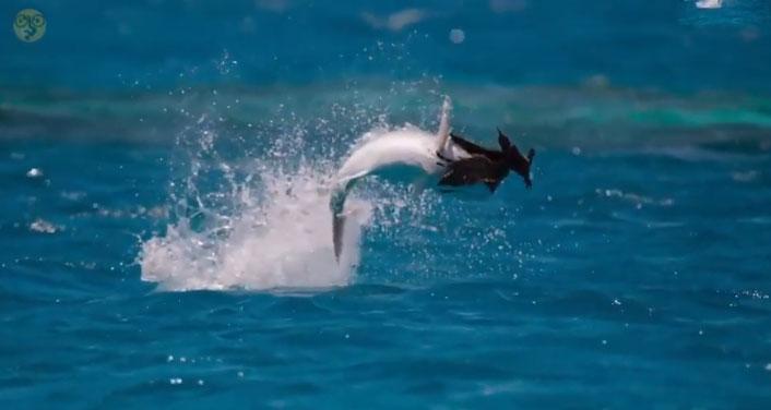 Con cá lao lên với tốc độ cực nhanh, đớp gọn con chim đang bay.