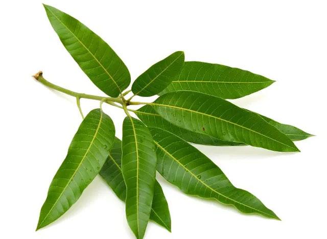 Lá xoài chứa chất chống oxy hóa bao gồm các phenol và flavonoid.