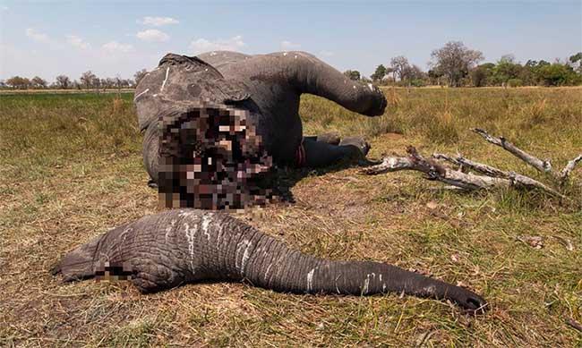 Con voi bị sát hại chỉ 1 tháng sau khi lệnh cấm săn bắt bị dỡ bỏ.