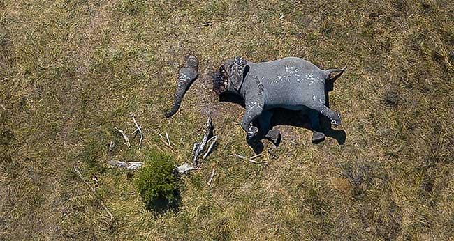 Xác của một con voi châu Phi bị xả thịt hết sức tàn nhẫn.
