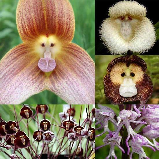 Hoa lan mặt khỉ