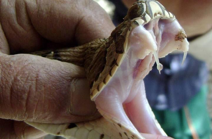 Phương pháp truyền nọc độc nhanh nhất của loài rắn là sử dụng răng nanh và tiêm vào con mồi.