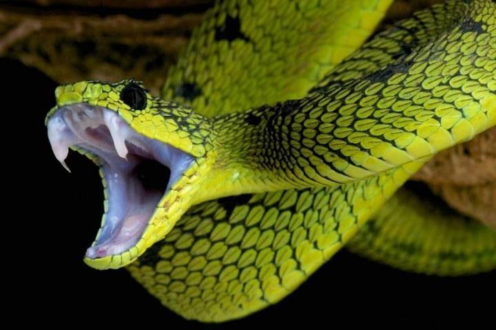 Mục đích chính của nọc độc là làm bất động con mồi và hỗ trợ rắn trong quá trình tiêu hóa.