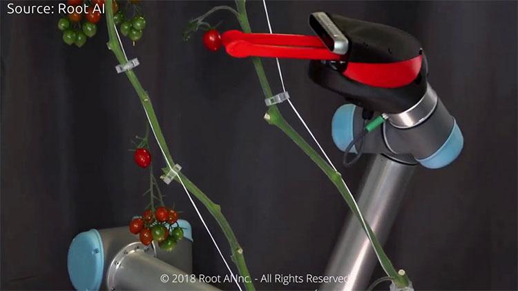 Robot hái quả trong nhà kính