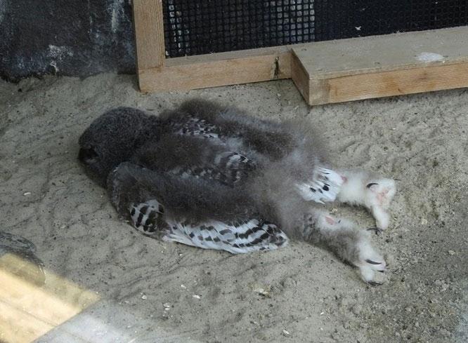 Đây là dáng ngủ của một con chim cú.