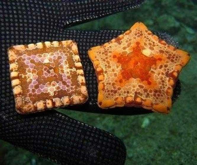 Một số loài sao biển có thể mang hình vuông do đột biến gene.