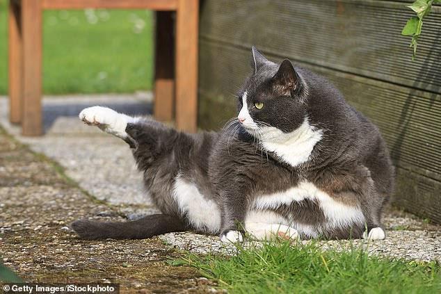 Mèo đực thường có xu hướng bự hơn con cái.