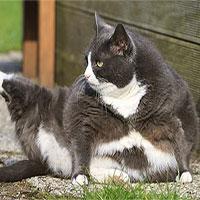 Lũ mèo thực sự đang ngày càng béo hơn và khoa học bảo rằng mọi thứ đều có lý do
