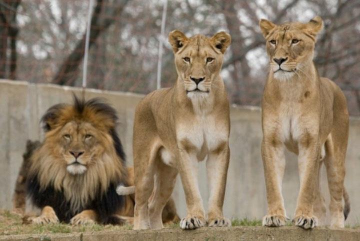 """Nhà động vật học: Phim """"The Lion King"""" mô tả hoàn toàn sai lầm vai trò sư tử đực trong thực tế - ảnh 2"""