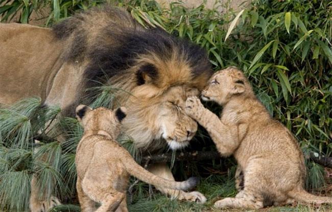 """Nhà động vật học: Phim """"The Lion King"""" mô tả hoàn toàn sai lầm vai trò sư tử đực trong thực tế - ảnh 3"""