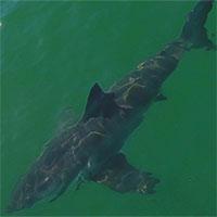 """Nước ấm lên, biển ngoài khơi California hóa """"công viên cá mập trắng"""""""