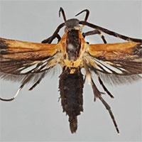 Costa Rica công bố phát hiện thêm hai loài bướm đêm mới