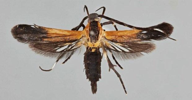 Loài Tinaegeria carlosalvaradoi.