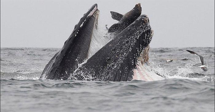 Sư tử biển suýt lọt vào bụng cá voi lưng gù.