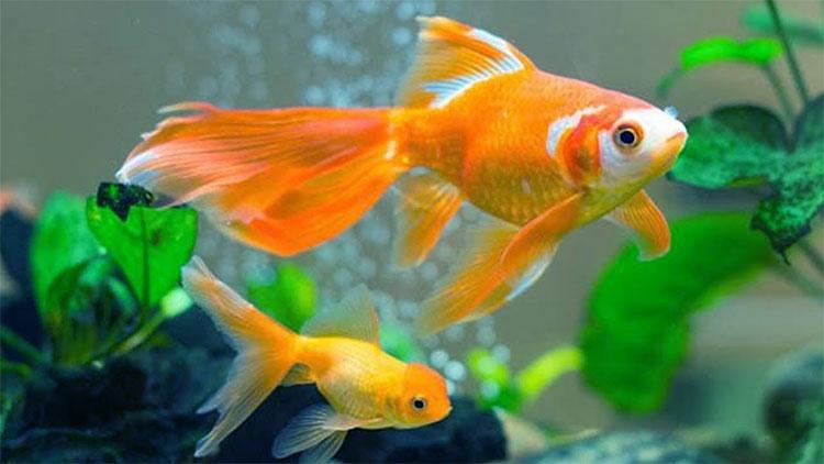 Cá vàng có thể được dạy để đẩy một cái đòn bẩy cung cấp thức ăn.