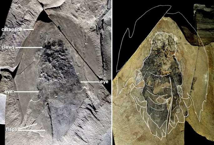 Hóa thạch nguyên vẹn của một số quái vật biển Cambroraster falcatus