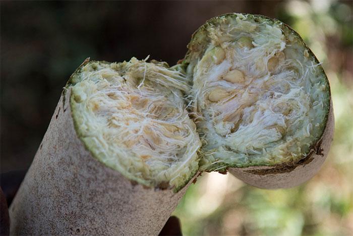 Ruột mềm, nhiều xơ và chứa đầy hạt bên trong quả xúc xích.