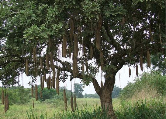 Cây xúc xích trĩu quả ở châu Phi