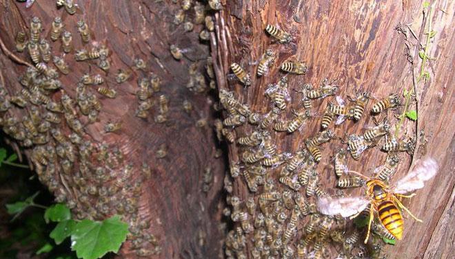 Một con ong bắp cày đang bay quanh tổ ong mật Nhật Bản.