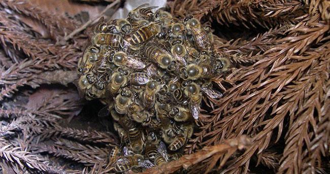 Cơ chế phòng thủ kỳ diệu của ong mật Nhật Bản.