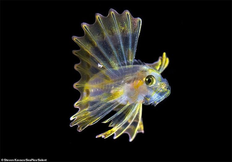 Các gai trên vây lưng của loài cá này có độc tính mạnh và lâu dài.