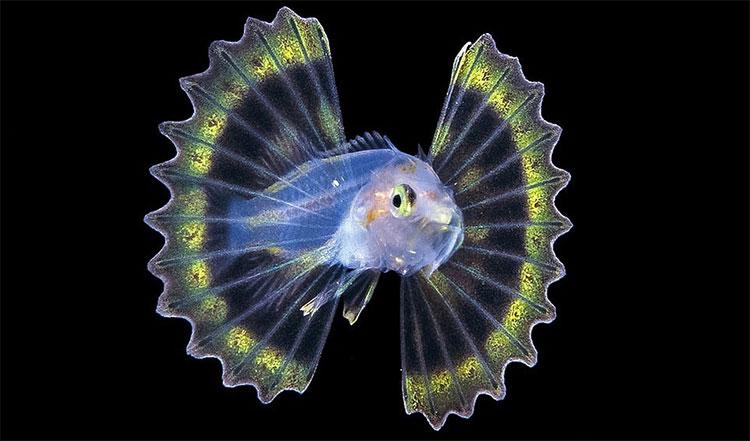 Cá mao tiên là một trong những loài sinh vật biển đẹp nhất.