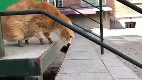 Mèo Ryzhik cẩn thận bước xuống bậc thang...