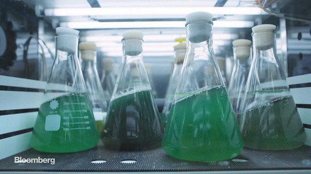 Vi tảo có thể cung cấp dưỡng chất cho hàng nghìn tỷ động vật trên hành tinh này