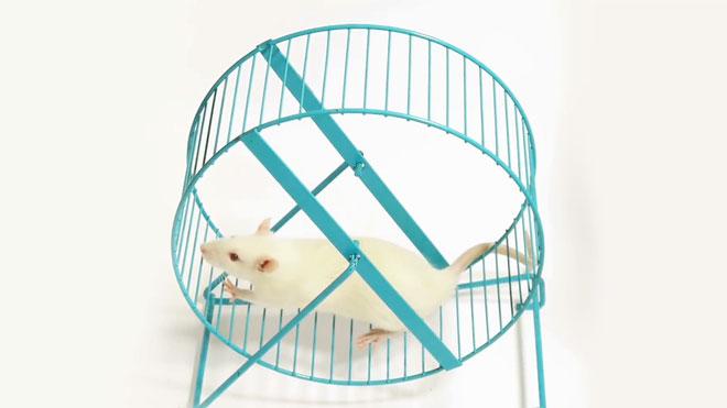 Nếu bạn đặt một bánh xe vào chiếc lồng, con chuột sẽ chạy không ngừng nghỉ trong suốt hàng giờ liền.