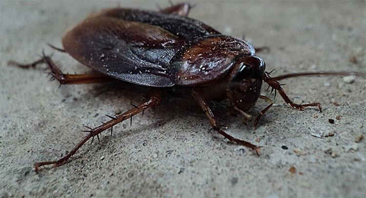 Gián có chiều dài DNA đứng thứ hai trong số các loài côn trùng.