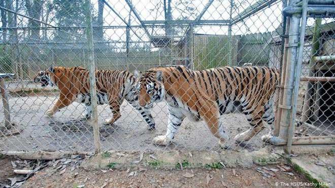 Bạn thường thấy những con vật trong sở thú đi đi lại lại trong chuồng của chúng?