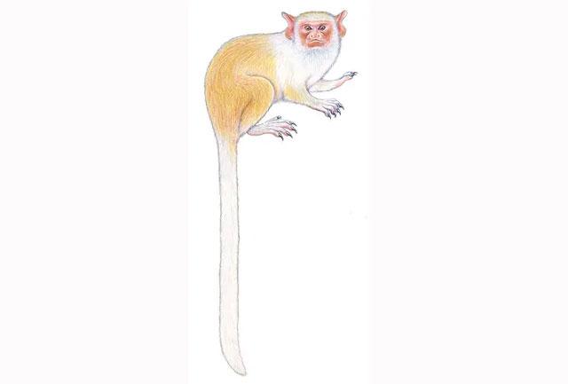 Hình ảnh phác hoạ của loài khỉ mới được phát hiện ở Amazon.