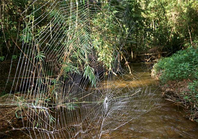 Mạng nhện Caerostris darwini.