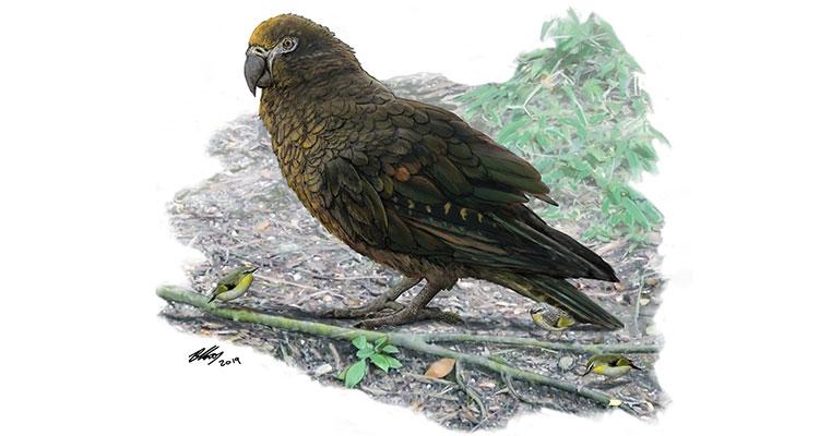 Heracles inexpectatus là loài vẹt lớn nhất thế giới từng được phát hiện.