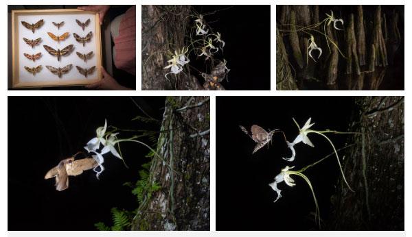 Một số loài bướm đêm có thể là tác nhân thụ phấn của phong lan ma.