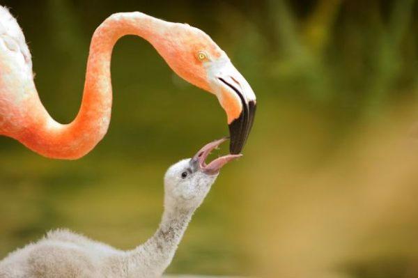 Chim hồng hạc con có màu xám hoặc trắng.