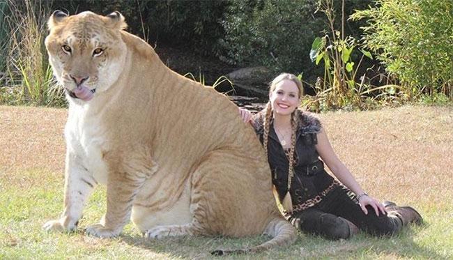 Các nhà khoa học đã tạo ra giống loài hổ to nhất thế giới đó là: Liger.