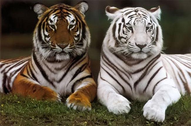 Hổ sống đơn độc và chỉ kết đôi khi đến mùa giao phối.