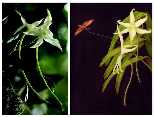 Ngay cả ở kích thước ngắn nhất, đài hoa phong lan ma cũng tới 13cm.
