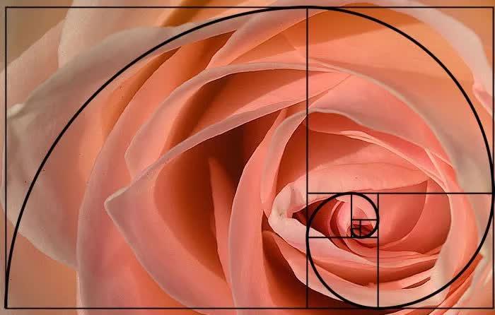 Một mẫu dãy số Fibonacci trong tự nhiên-cánh hoa hồng.