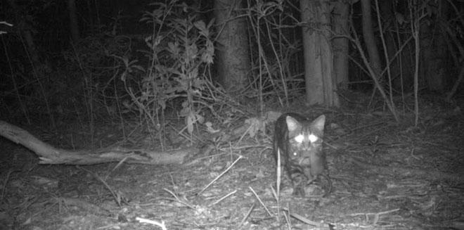 Một con mèo ở Florida Keys, tác nhân đe dọa quần thể chuột gỗ ở đây