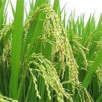 Phát hiện giống lúa mới có khả năng chống oxy hóa