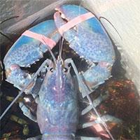 Ngư dân Mỹ bắt được tôm hùm màu kẹo bông siêu quý hiếm