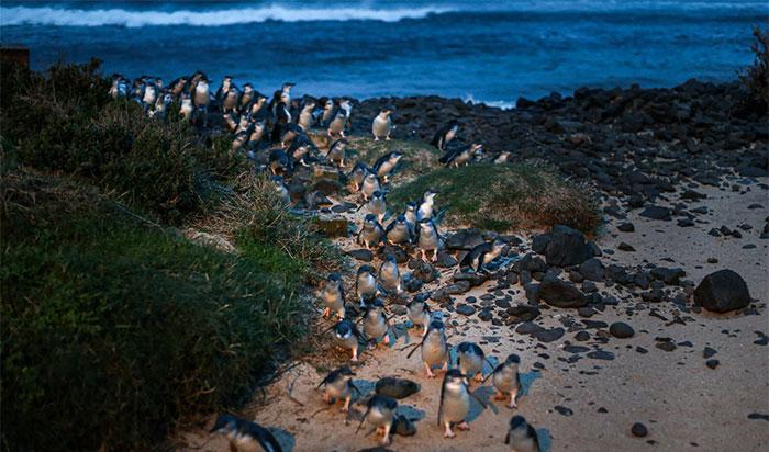 Nhiều năm qua, những con chim cánh cụt tí hon đã sống chung với các khu dân cư của con người