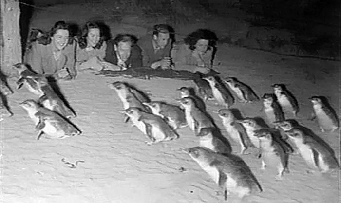 Từ năm 1985, nhà chức trách quyết định mua lại tất cả đất trên đảo Phillip, trả lại môi trường sống cho chim cánh cụt