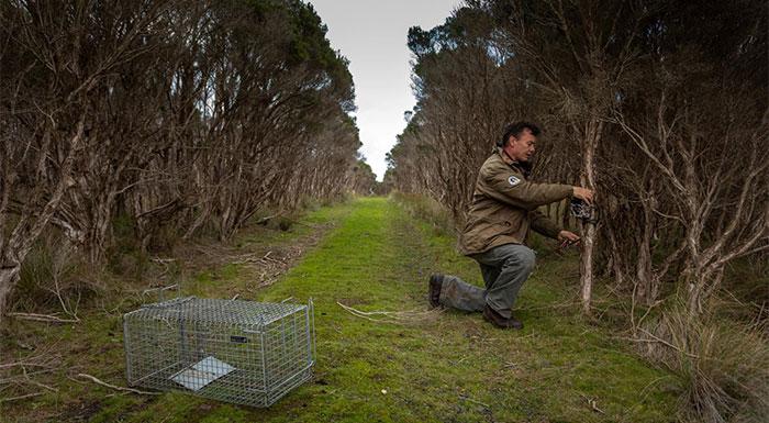 Nỗ lực hồi sinh môi trường sống và giải cứu loài cánh cụt tí hon đã mang lại trái ngọt cho Australia.