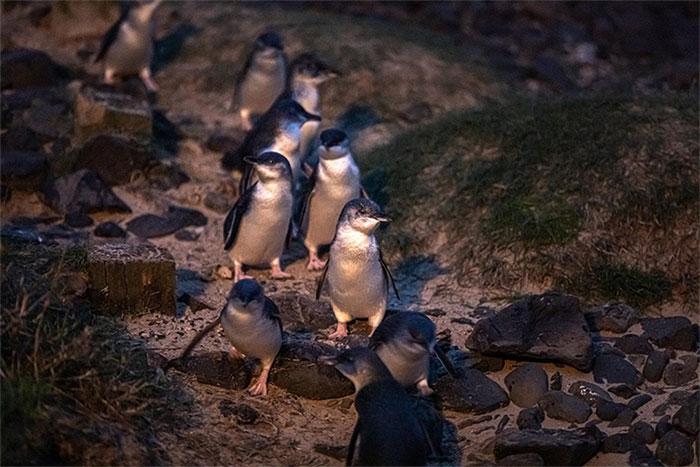 Hàng nghìn con chim cánh cụt tí hon trồi lên từ làn sóng, đi dọc bờ biển trở về tổ của chúng
